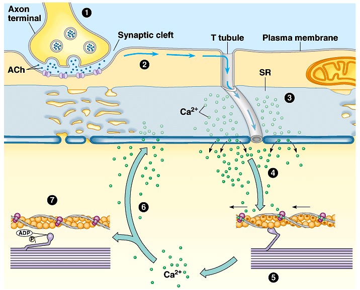 An overview of the excitation-contraction coupling originating at the neuromuscular junction. Adapted from Scientist Cindy [6]
