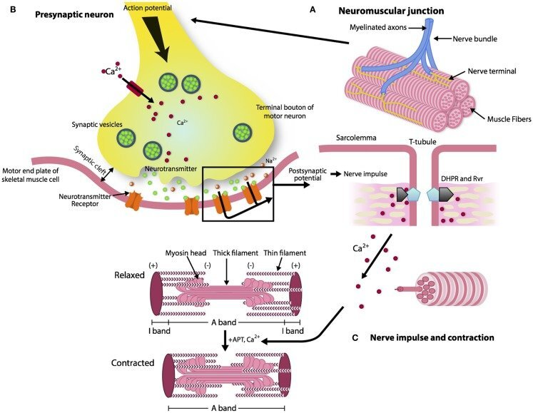 "The ""architecture of the neuromuscular junction"" taken from Gonzalez-Friere et al. [3]"