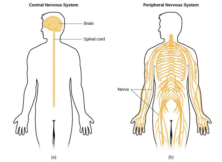 Adapted from Lumen Learning [7]. The illustration shows the Central (A) and Peripheral (B) nervous systems.